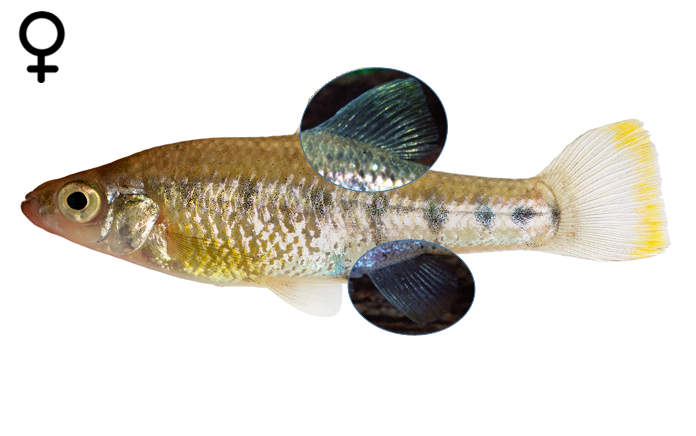 Chapalichthys encaustus female