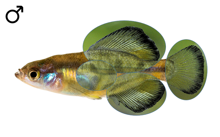 Girardinichthys multiradiatus male