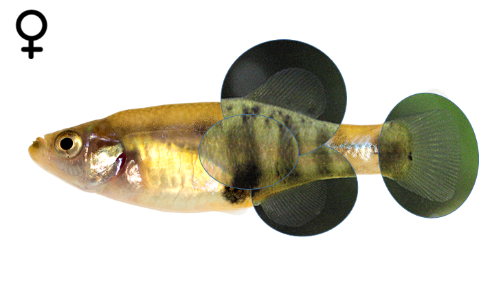Girardinichthys multiradiatus female