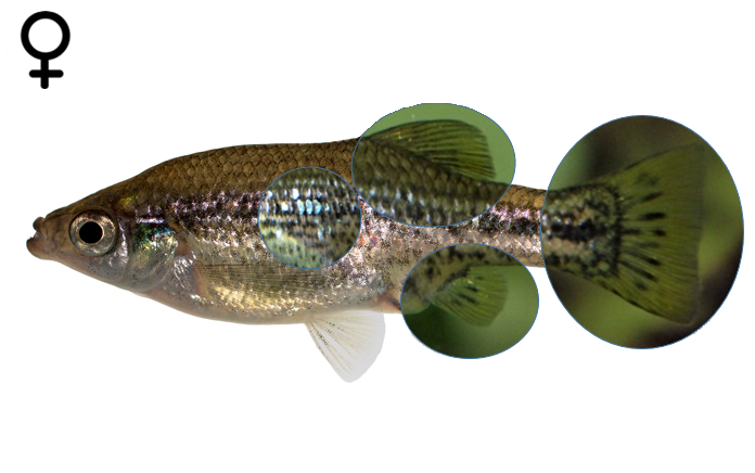 Ameca splendens female