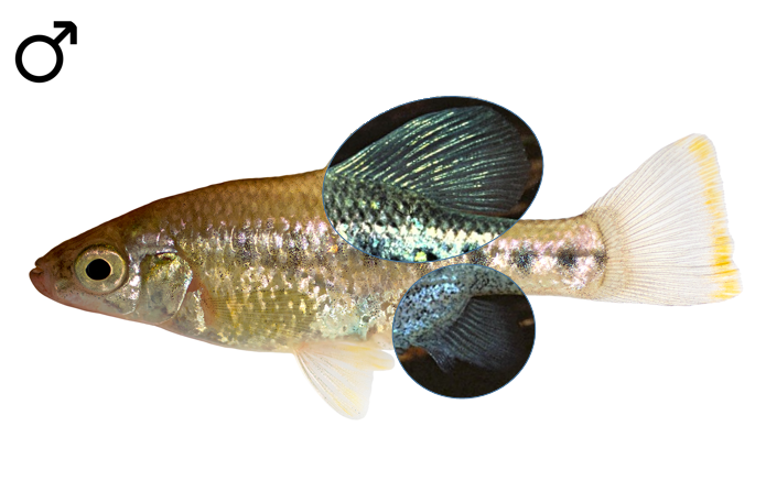 Chapalichthys encaustus male
