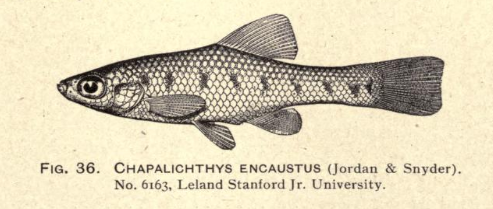 Holotype of Chapalichthys encaustus