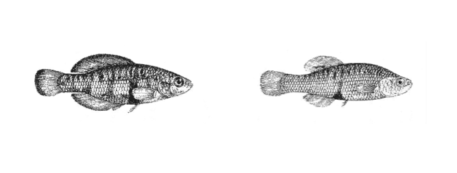 Regans drawings of Girardinichthys multiradiatus