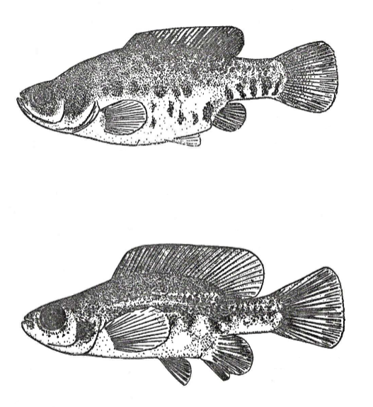 types of Hubbsina turneri