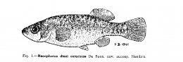 Allotoca catarinae, drawing of a female from the description