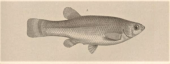 One of the types of Characodon luitpoldii