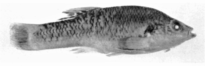 Paratype of Allodontichthys zonistius
