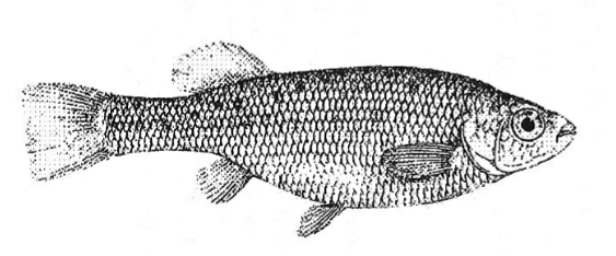 Drawing of Ilyodon furcidens