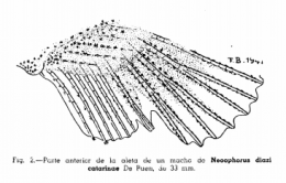 Drawing of the andropodium of Allotoca catarinae